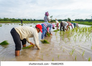 SIEM REAP, CAMBODIA - SEPTEMBER 12, 2015: Rice farmers work together in the fields planting rice.