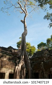 Siem reap Cambodia,  Ta Prohm a 12th century temple in the Banyon style encased in tree roots
