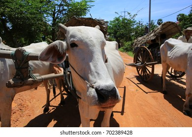 SIEM REAP;CAMBODIA APRIL 5: local village transport by cow trekking on 5 april 2017. cow trekking is still one of transport vehicle in cambodia