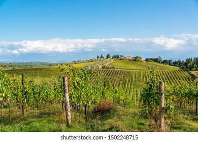 Siena, Italiy, October 03, 2015 - Vineyards in the tuscan hills in the chianti area near Siena