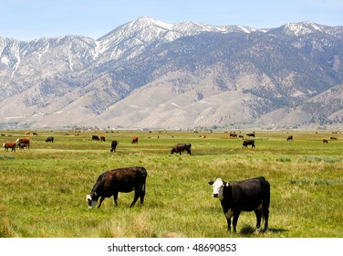 Sierra Nevada mountains and cattle grazing