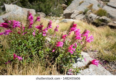 Sierra Wildflowers In Early August
