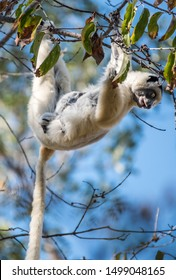 Verreaux's Sifaka hanging in a tree with her baby in Madagascar