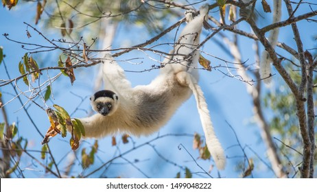 Verreaux's Sifaka hanging in a tree in Madagascar