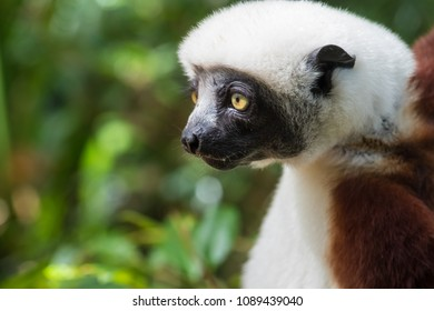 Sifaka, a large lemur which jumps from tree to tree in an upright position and rarefy comes to the ground and when it does it walks sideways, Andasibe National Park, Eastern Madagascar