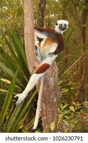 Sifaka in Madagascar