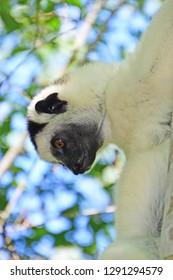 Verreaux's Sifaka in Madagascar