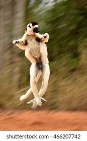 Sifaka or Propithecus verreauxi, lemur of Madagascar jumping which looks like levitating with motion blurred background