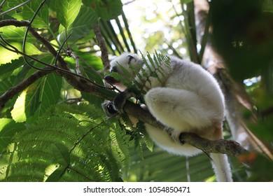 Sifaka - Propithecus verreauxi -  in marojejy national park, madagascar