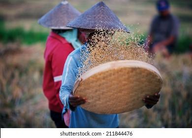 Sifting rice at the field