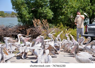 SIGEAN, FRANCE - MAY 24,2014: Feeding pelicans and gulls. Sigean safari park.