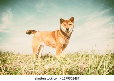 Sight of the japanese dog 'Shiba Inu' (in the nostalgic style)