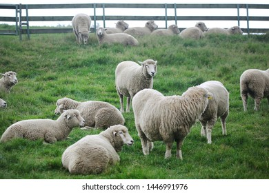 the sight of sheep resting in the field