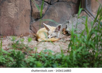 the sight of a sleeping desert fox