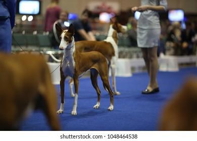 Sighthound Podenco Ibicenco ( Ibizan hound ) at dog show in Orlando, Florida.