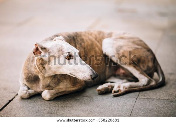 The sighthound Spanish Galgo dog is lying on street sidewalk