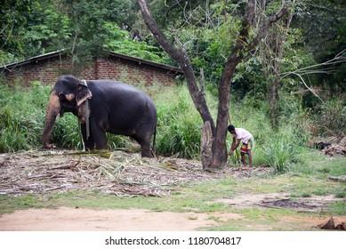 SIGIRIYA,SRI LANKA - FEBRUARY 03.2018:  man feeding his elephant on February 03,2018 in Sigiriya, Sri Lanka