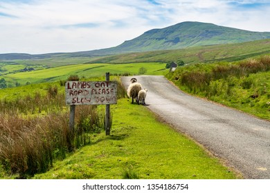 Sign: Lambs on Road please slow down, with sheep near the road, seen near Halton Gill, North Yorkshire, England, UK