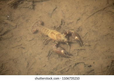 The signal crayfish (Pacifastacus leniusculus) is a North American species of crayfish. It was introduced to Europe in the 1960s, now considered an invasive species across Europe.