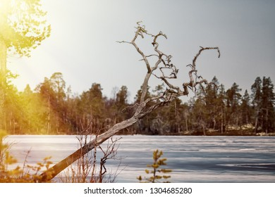 Signs of spring for Earth watchers, Earth observers. Snow on the ice lakes saturated with water and blue. Forest lake in Lapland and the sun's rays. Clumsy tree, dry gnarled pine tree in the front