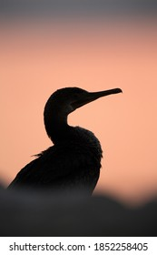 Sihouette of a Socotra cormorant during sunrise, Bahrain
