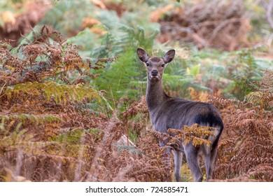 Sika Deer in beautiful British autumn woodland, RSPB Arne, Dorset, UK