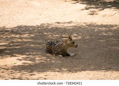 The sika deer (Cervus nippon) also known as the spotted deer or the Japanese deer in Safari park Ramat Gan, Israel