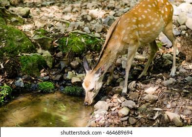 Sika deer drinking water near Todaiji temple in Nara, Japan