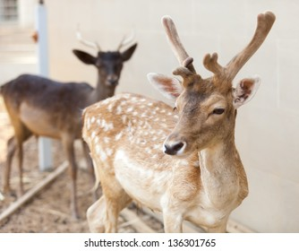 Sika Deer are found in the temperate and subtropical forests of Eastern Asia