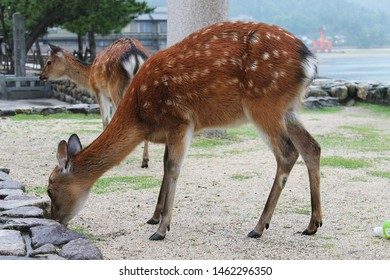 Sika deer graze on Miyajima Island, with the famous Itsukushima Floating Torii gate in the distance.