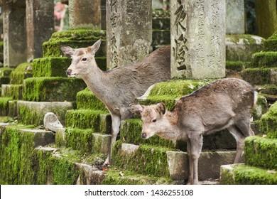 Sika deer in Kasugataisha shrine (Kasuga-taisha) of Nara public park, Nara, Japan.