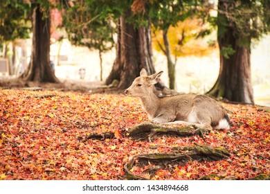 Sika deer in morning warm sunshine, Nara public park, Nara, Japan.