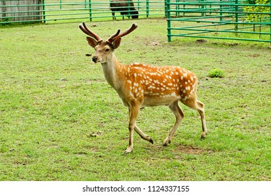 Sika deer on the background of green grass.