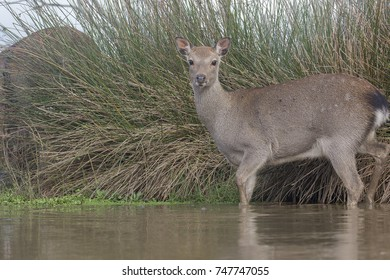 sika deer portrait taken from below near water with sky background