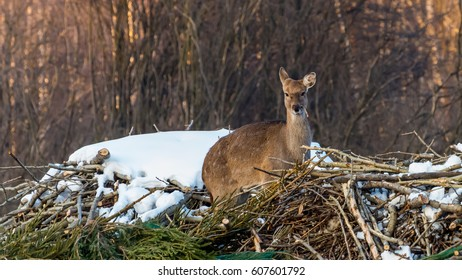 Sika deer in the reserve in winter