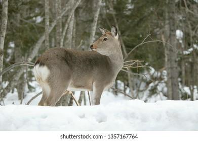 Sika Deer in snow