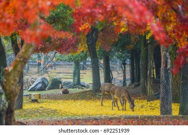Sika Deers Roaming and Feeding at Autumn Raining Field, Nara Public Park, Nara, Japan