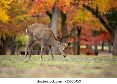 Sika Deers Roaming and Feeding at Autumn Raining Field, Nara Public Park, Nara, Japan.