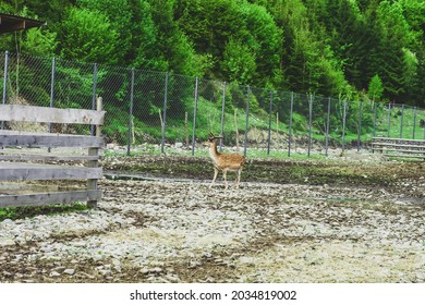 Sika spotted deer near metal fence. Cervus nippon or Japanese deer on farm at distance