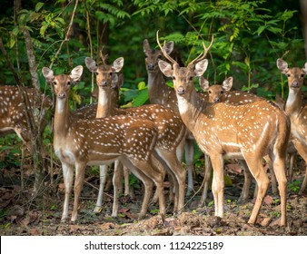 Sika or spotted deers herd in the jungle. Wildlife and animal photo. Japanese deer Cervus nippon