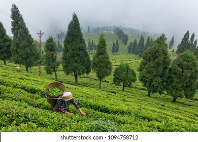 Sikkim, India - April 21, 2017: Unidentified woman collecting fresh tea leaves from the tea plantation near the Darjeeling, India