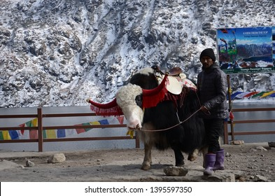 SIKKIM,INDIA-APRIL 13 : Yak at the Tsomgo (Changu) Lake in Sikkim on March 3, 2019 in East Sikkim ,India.It is a sacred natural glacial lake on top of mountain in Gangtok East Sikkim in Himalayas
