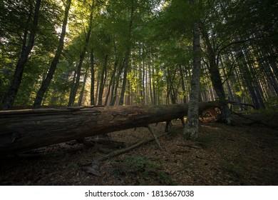 Sila Giant Trees in Croce di Magara, Cosenza, Calabria, Italy.