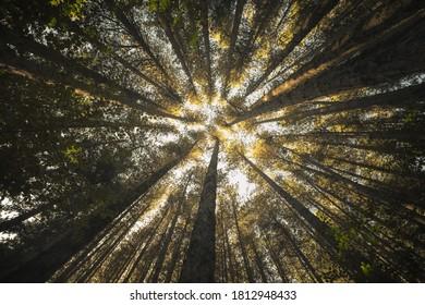Sila Giants Trees, Croce di Magara, Calabria, Italy,