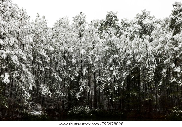 The Silence of the First Snow on Coniferous Forest