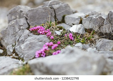Silene acaulis wildflower in natural mountain environment
