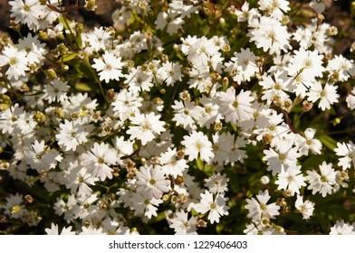 Silene alpestris white flowers