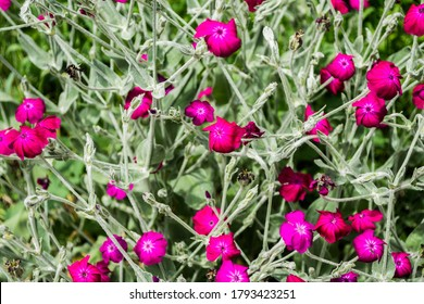 Silene coronaria flowers, also known like dusty miller, mullein-pink, bloody William or Lychnis coronaria.