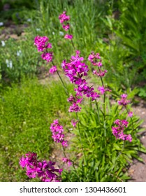 Silene viscaria, the sticky catchfly or clammy campion, which is a flowering plant in the family Caryophyllaceae