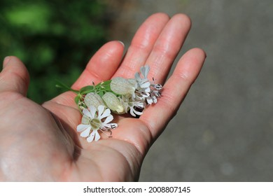 Silene vulgaris. Blase Campion in der Hand.